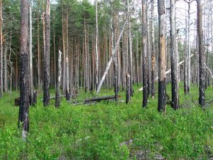 1280px Boreal Pine Forest 6 Years After Fire, 2012 07