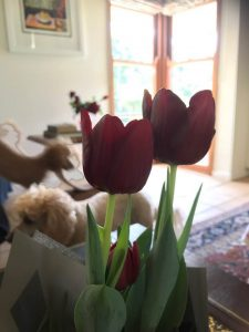 Mum Tulips And Poodles